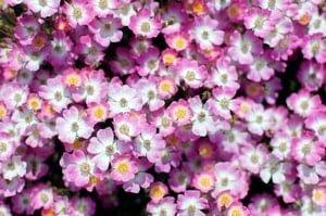 ピンク色の綺麗な花が沢山咲いている。
