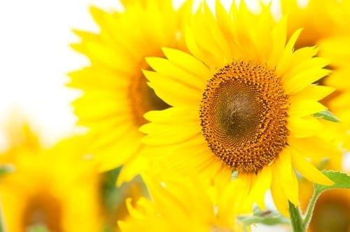 沢山の満開の向日葵が咲き誇る。