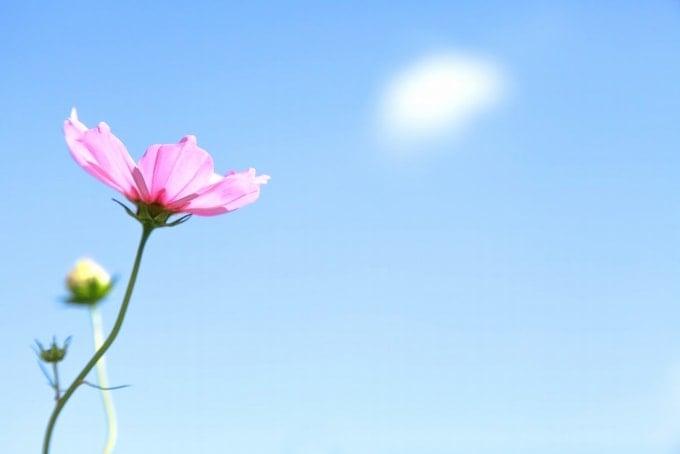 白石蔵王高原マラソンに咲くピンク色のコスモス。