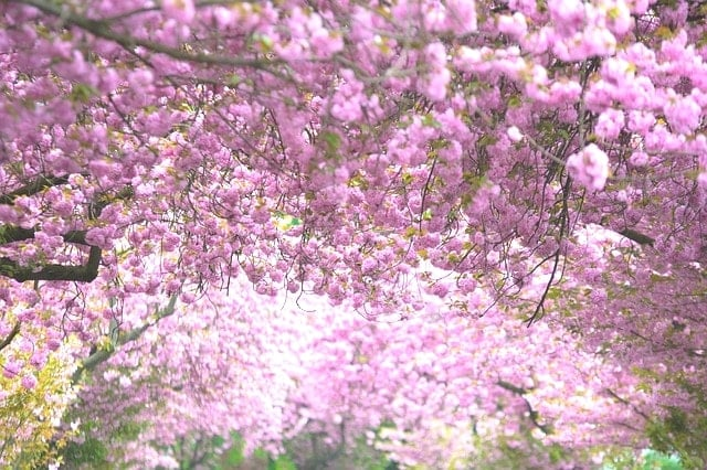 土曜日開催の柴田桜ハーフマラソンは満開の桜を見る花見ランニング。