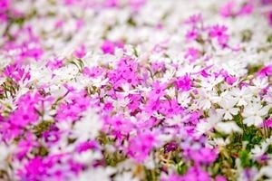 ピンクと白の花が咲き乱れる