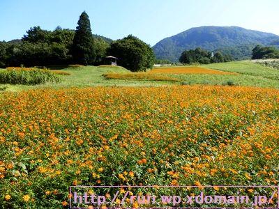 山形県面白山高原でオレンジ色のコスモスが沢山咲いている。