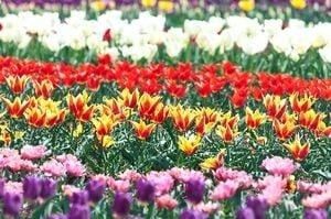 チューリップが沢山咲いている