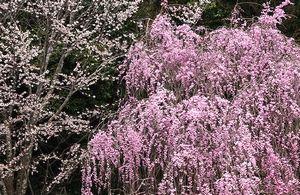 夜の枝垂桜