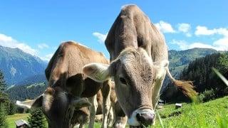 スカイライントレイル菅平50Kの関門は要注意!牛だらけのコース。